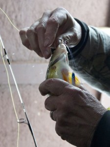 Ron Chaffee removes a yellow perch from a hook. Photo by Dirk Van Susteren