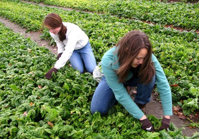 Gleaners pick vegetables. Photo by Tom Slayton