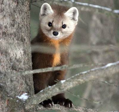 An American marten, a mink-like forest omnivore, perches in a tree. Photo courtesy  USDA