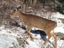 Epizootic hemorrhagic disease confirmed in Rutland County deer