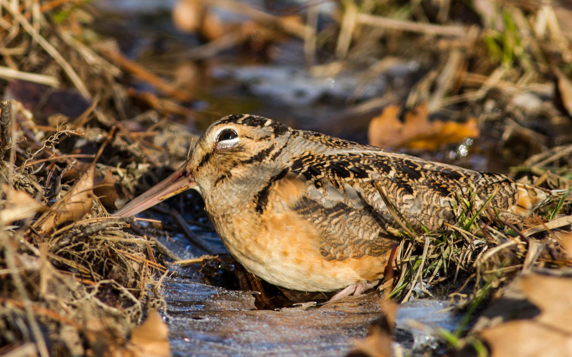 NEK nonprofit to restore bird habitats with grant money - VTDigger