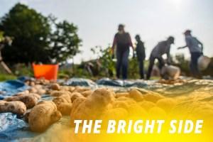 Volunteers harvesting potatoes