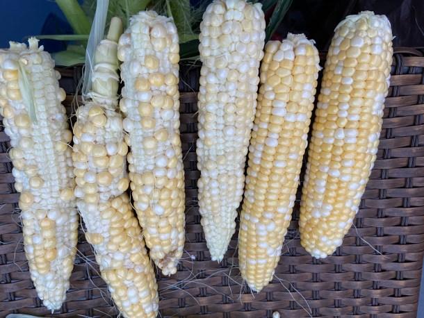 drought-stunted-corn